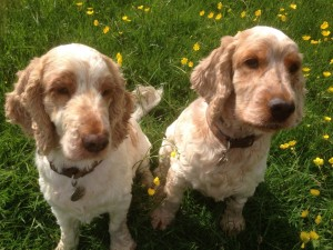 Archie and Dexter,The Pet Shop.Ripon,, gorgeous spaniels
