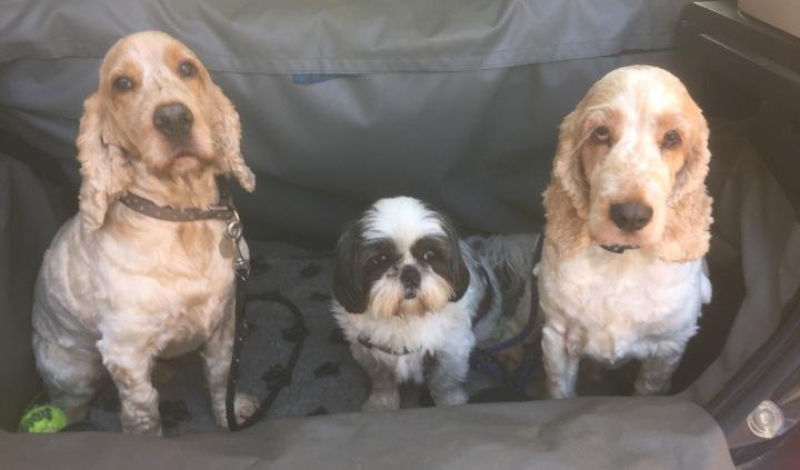 Archie and Dexter, The Pet Shop Ripon, Spaniels
