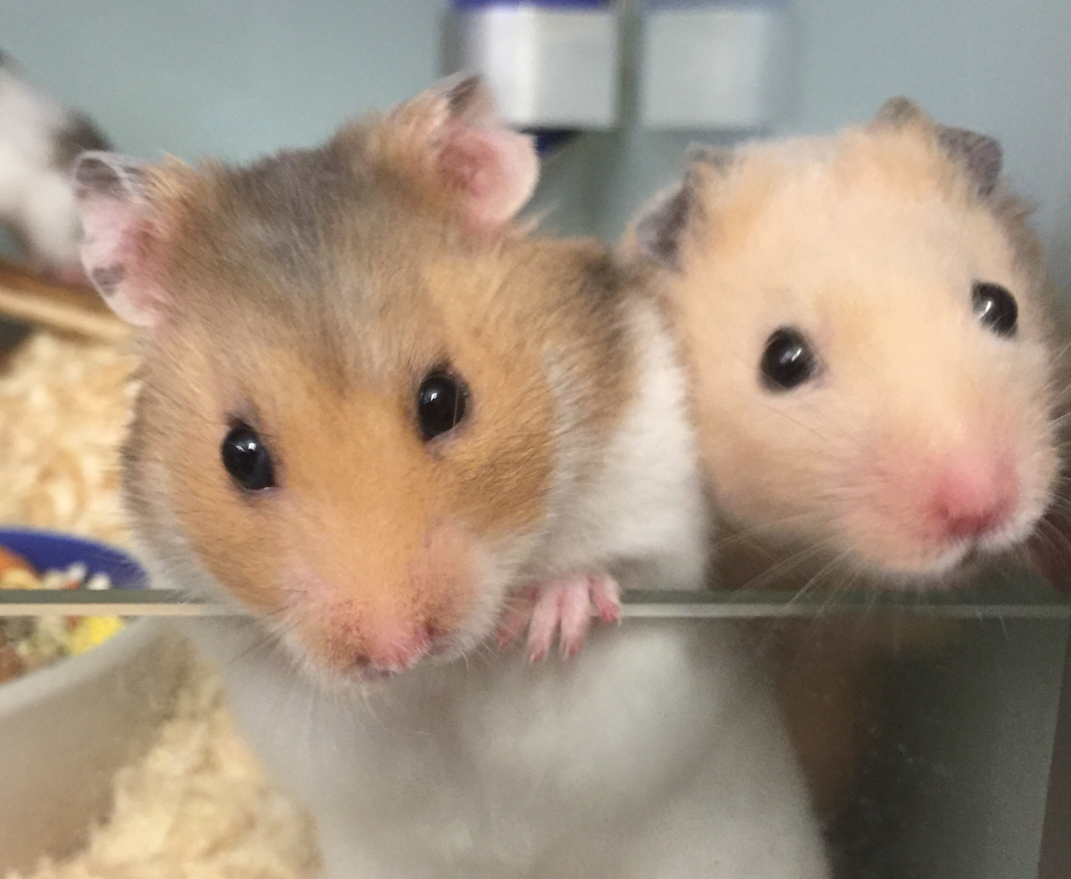 The Pet Shop Ripon, Hamsters for sale, hamsters