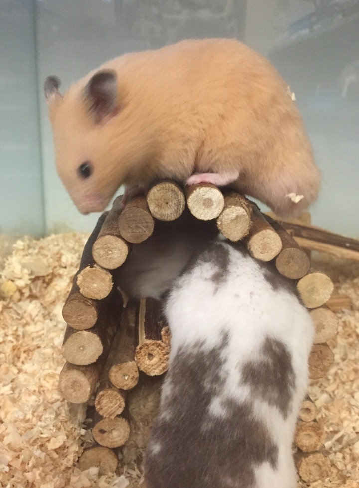 The Pet Shop Ripon, hamsters for sale, hamsters playing