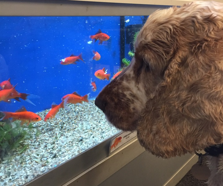 Dexter and the goldfish, The Pet Shop Ripon,
