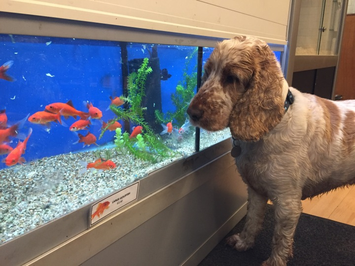 Dexter and the goldfish, The Pet Shop Ripon North Yorkshire