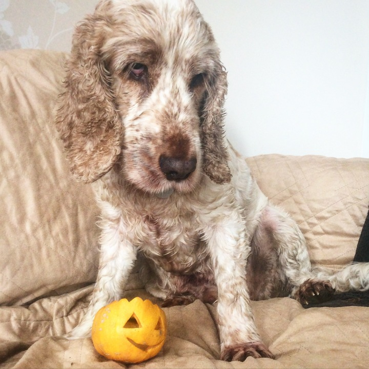 Dexter and the pumpkin, the pet shop ripon north yorkshire