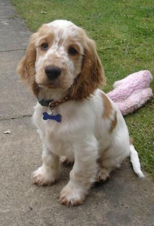 Dexter, puppy, the pet shop ripon